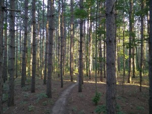 Trail through a pine plantation